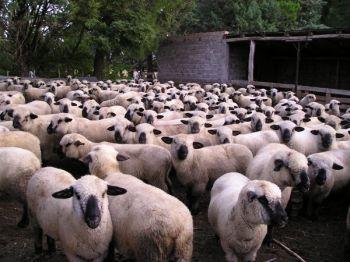 ovejas en rebaño